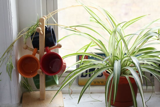Damn the spider plant!